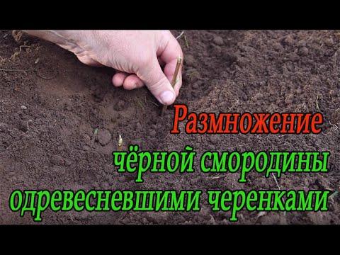 Размножение чёрной смородины одревесневшими черенками
