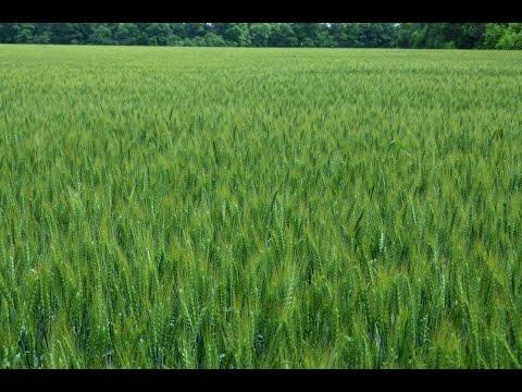 Посевы пшеницы. Севооборот Технология No-Till. КФХ Владимира Гавриленко