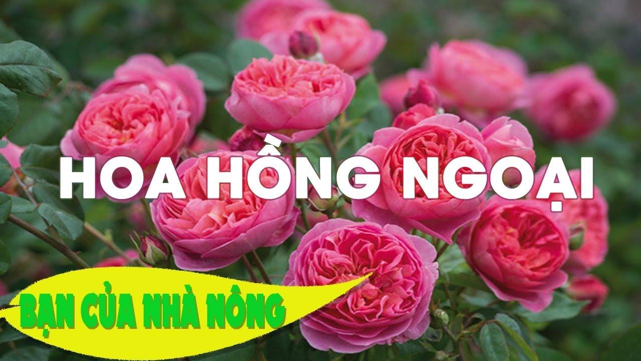 Kinh Nghiệm Quý Báu Trong Việc Trồng Và Chăm Sóc Hoa Hồng Ngoại Tại Việt Nam