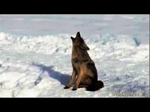 Coyote Howls Over + Over! @Yellowstone [TL] Feb.20, 2018