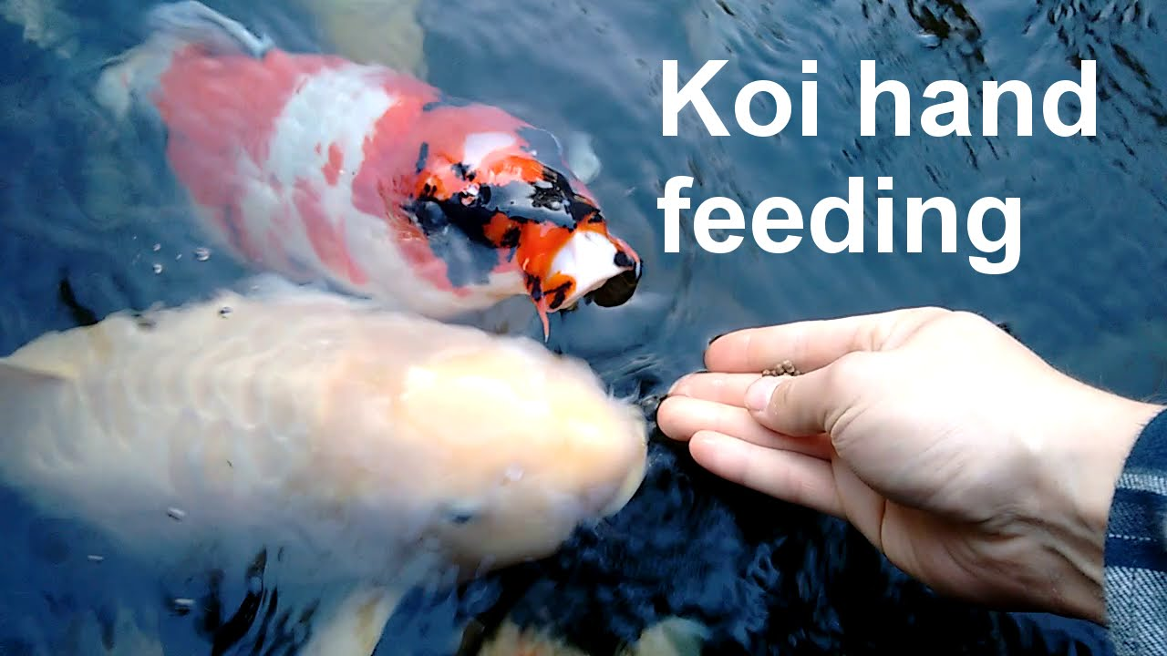 Koi hand feeding youtube for Koi feeding