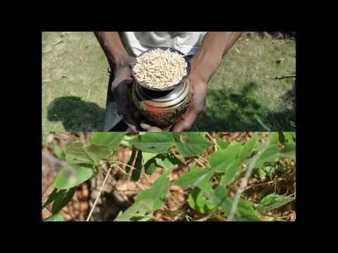 Medicinal Rice P5K Formulations for Bryophyllum Excess: Pankaj Oudhia
