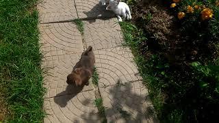 Купить щенка чихуахуа в Москве недорого. РКФ. Мини.8-905-546-66-92
