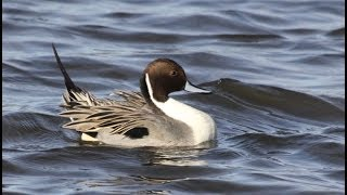 Northern Pintail at Colusa National Wildlife Refuge