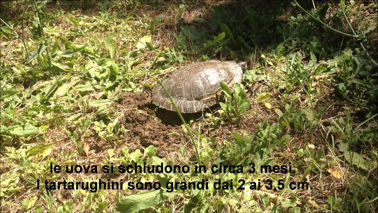 Villa pamphilj una tartaruga nord americana prepara il for Tutto per le tartarughe