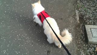 Haiku the Ragdoll Cat walking with a harness and lead for the first time