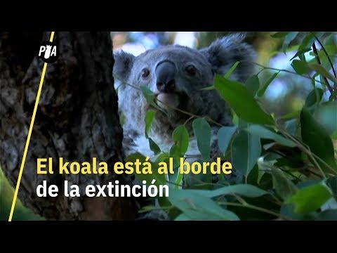 ¿Koalas al borde de la extinción?