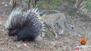 Silly leopard taking on porcupine at high speed will make your day!