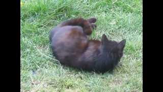 Le chat noir se fait gratter le ventre