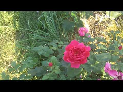 Розы корнесобственные-цветение,особенности выращивания и сюрпризы; Остинки цветение в жару ��