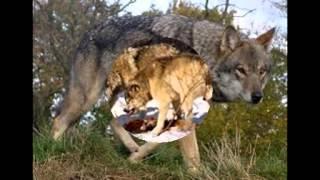 Ykt HF and OA Волки в дикой природе(Ykt HF and OA Волки в дикой природе Волк, или серый волк, или обыкновенный волк[1] (лат. Canis lupus) — вид хищных млекоп..., 2015-09-14T03:52:49.000Z)