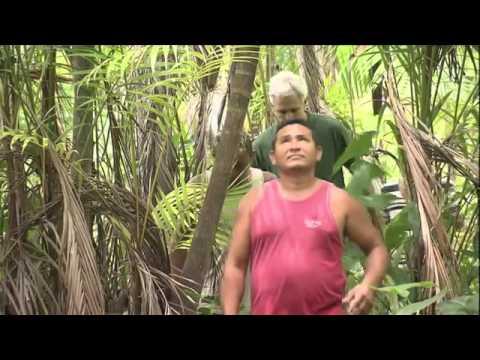 Manejo da floresta garante produção sustentável de açaí em Cametá no Pará