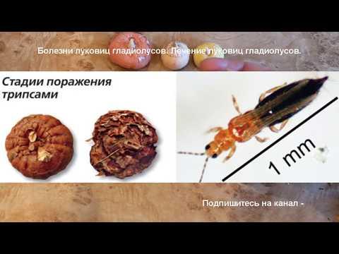 Гладиолусы. Как отличить старую луковицу от молодой. Как избавиться от трипсов.