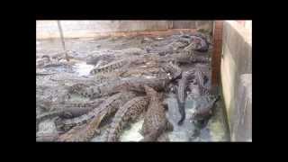 Crocodile feeding madness!!