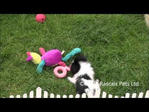 Little Rascals Uk breeders New litter of Papillon little boy - Puppies for Sale 2015
