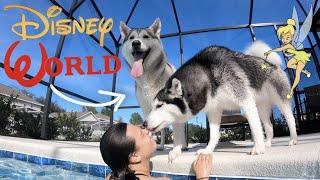 Husky Dog Goes SWIMMING AT DISNEY WORLD!!!