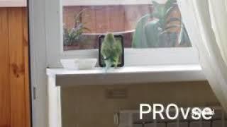 Ожереловый попугай Крамера (Индийский кольчатый попугай)