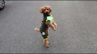 Bipedal Terror, Toy Poodle RUNNING On Two Legs - Funny (High Quality)