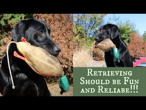 Labrador Retriever Training - Force Fetch vs Inductive Retrieve