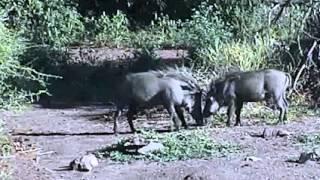 Bush Pigs play at Pete's Pond 4-6-13