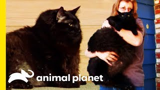 Why Is This Cat So Overweight?! | Cats 101