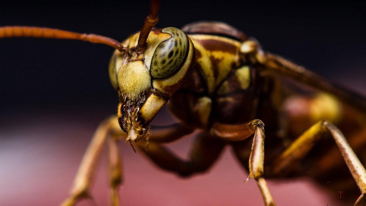 Macro Photography - Hornet - Studio shot - walk-through ...