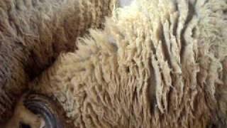 Elevage de mouton race sradi à ouladsaid MAROC