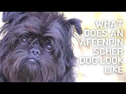 What Does An Affenpinscher Dog Look Like