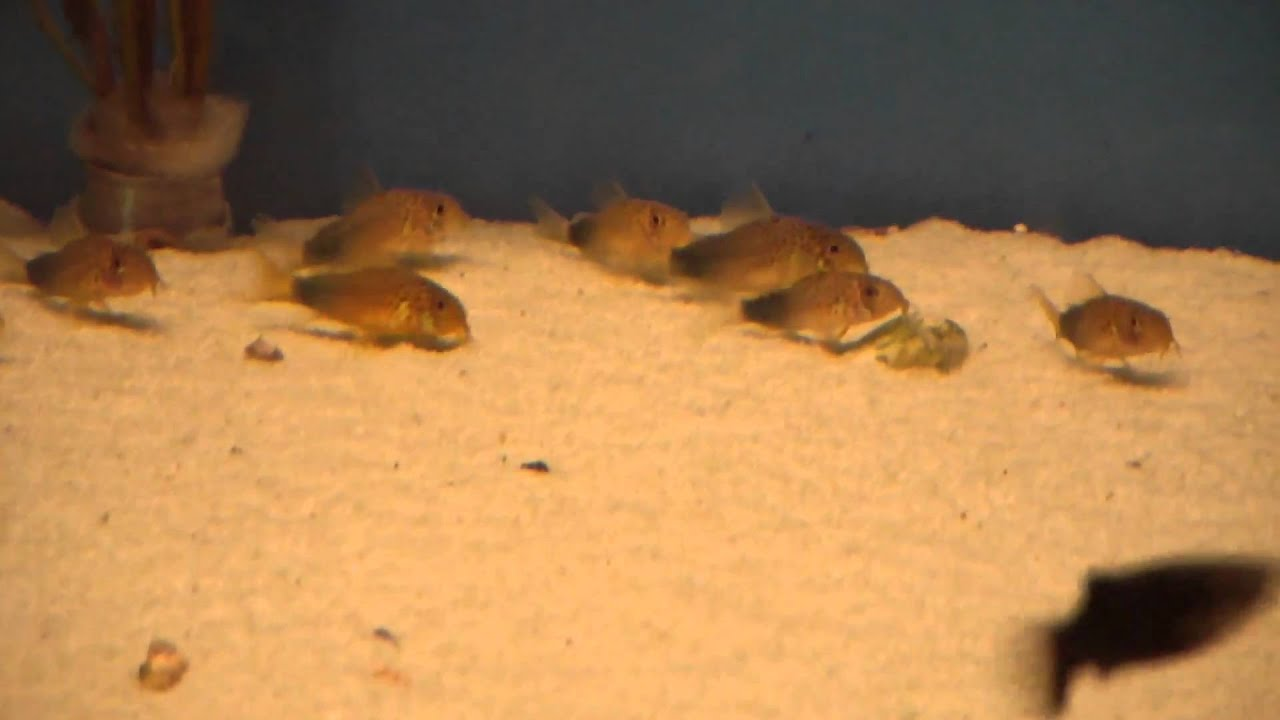 Corydoras similis panzerwels for Zierfisch shop