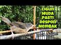 Ciblek Gunung Muda Gacor Ngebren Untuk Masteran Cigun Anakan Agar Cepat Bunyi Ngeriwik Ngebren  Mp3 - Mp4 Download