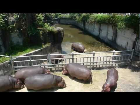 Hippo Fight at Taipei Zoo!