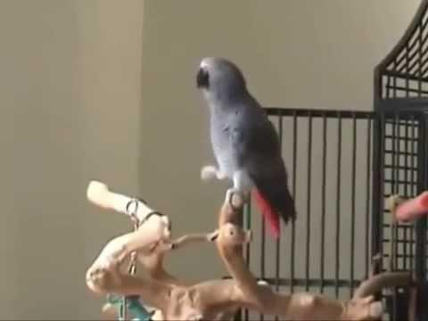 Попугай танцует и поет  Прикол, юмор, смешно  Эти смешные животные