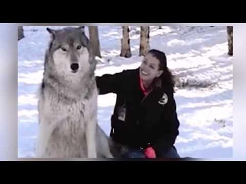 Frau Setzt Sich Neben Wilden Wolf, Was Dann Passiert Ist Unglaublich...