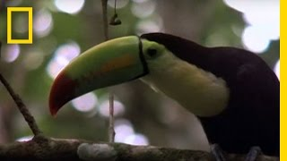 Birds of Paradise - Toucan | National Geographic