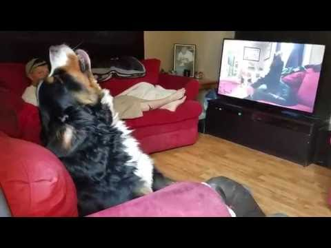 Bernese Mountain Dog howling at himself, howling on TV!