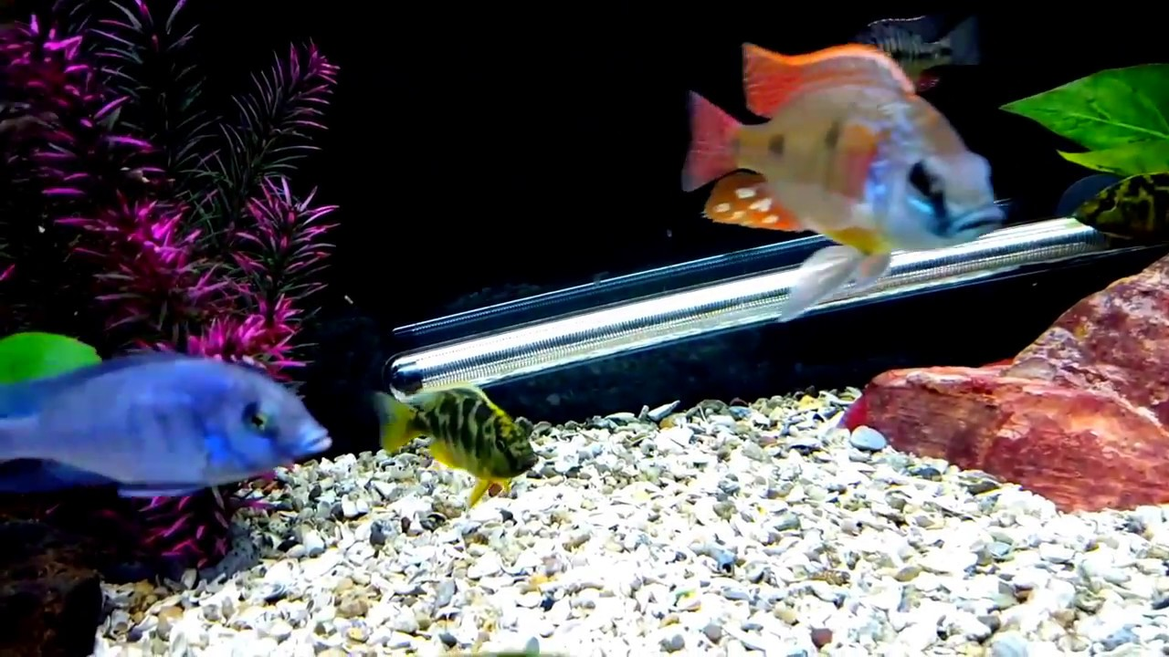 Flashes Of Color, Christmas For Cichlid Keepers!