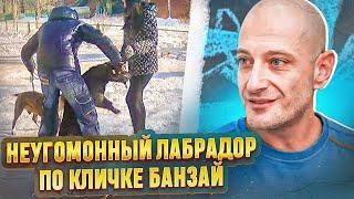 Агрессия на собак(Лабрадор Банзай)