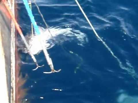 Deep Sea Fish - Antarctic Toothfish (Mero, Patagonian Toothfish)  메로 -  남극양 심해어