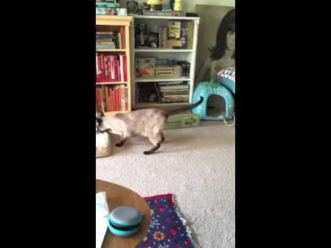 Siamese Cat Playing Fetch