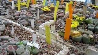 fiori di conophytum e lithops