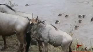 Wildebeest Migration in Masai Mara - Safari Masai Mara