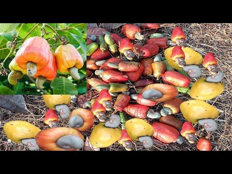 Fresh Cashew Nut Harvesting In Konkan | कोकणातील काजू तोडणी | Enjoying Eating Cashew Fruit