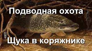 Подводная охота на Днепре - Щука в коряжнике.