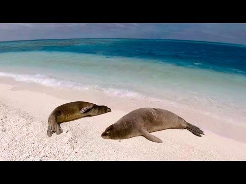 Monk Seals on Pearl and Hermes Atoll