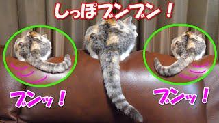 深夜にお外に出たくてしっぽをブンブン振る三毛猫ネコ吉