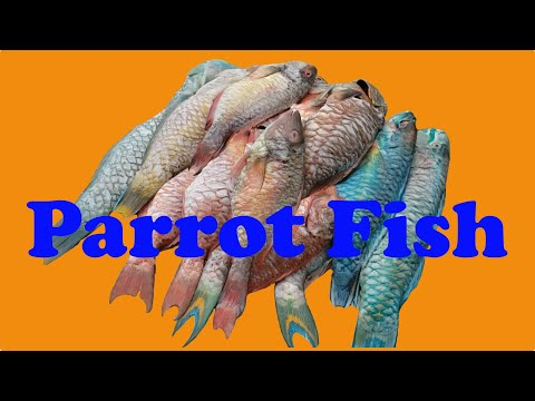 Parrot Fish 🐟 Step By Step Recipe Fried Cook 🔥 Parrotfish Catering Prepared Buy