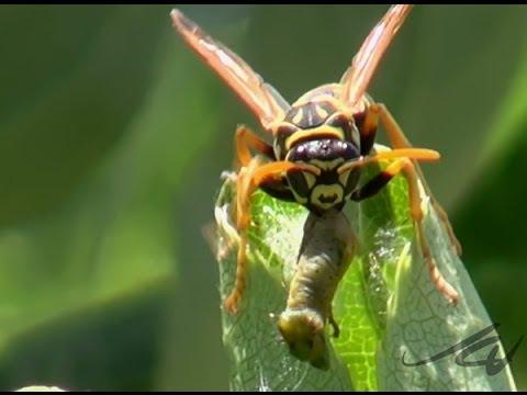Wasp Vs Tent Caterpillar Predator And Prey As Rarely Seen You