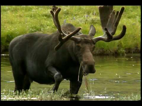 Moose National Park Animals For Kids Youtube