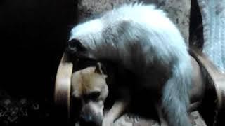 Кот трахает собаку