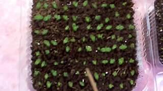 Глоксинии и стрептокарпусы из семян.Аналитический обзор
